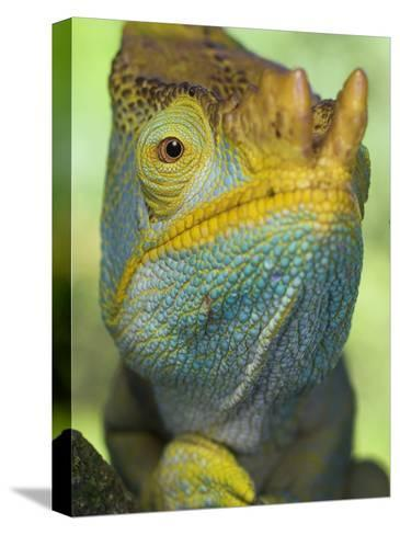 Portrait of Male Parson's Chameleon, Ranomafana National Park, South Eastern Madagascar-Nick Garbutt-Stretched Canvas Print