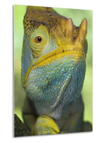 Portrait of Male Parson's Chameleon, Ranomafana National Park, South Eastern Madagascar-Nick Garbutt-Metal Print