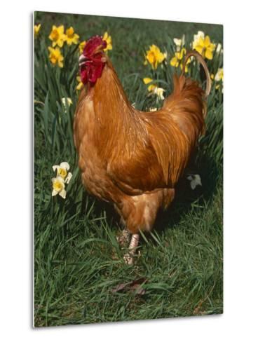 Domestic Chicken, Amongst Daffodils, USA-Lynn M^ Stone-Metal Print