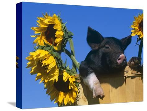 Domestic Piglet in Bucket with Sunflowers, USA-Lynn M^ Stone-Stretched Canvas Print