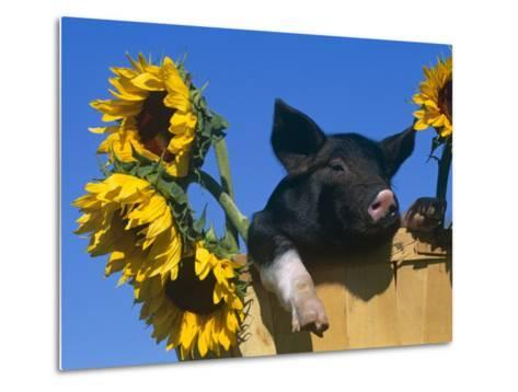 Domestic Piglet in Bucket with Sunflowers, USA-Lynn M^ Stone-Metal Print