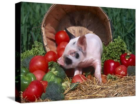 Domestic Piglet, Amongst Vegetables, USA-Lynn M^ Stone-Stretched Canvas Print