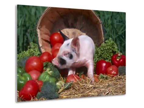 Domestic Piglet, Amongst Vegetables, USA-Lynn M^ Stone-Metal Print