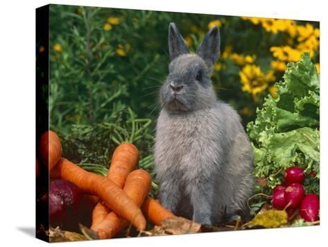 Domestic Netherland Dwarf Rabbit Amongst Vegetables, USA-Lynn M^ Stone-Stretched Canvas Print
