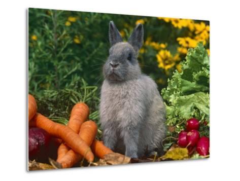 Domestic Netherland Dwarf Rabbit Amongst Vegetables, USA-Lynn M^ Stone-Metal Print