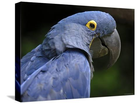 Hyacinth Macaw, Head Profile-Eric Baccega-Stretched Canvas Print
