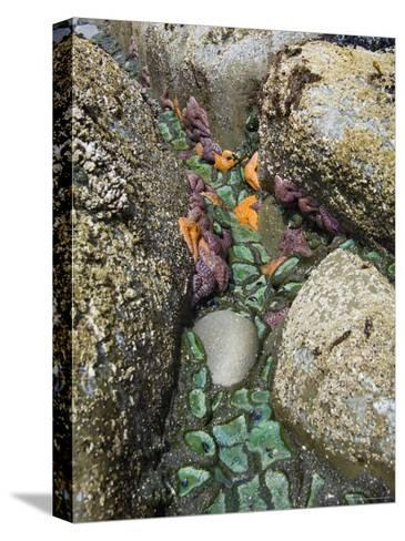 Giant Green Anemones, and Ochre Sea Stars, Exposed on Rocks, Olympic National Park, Washington, USA-Georgette Douwma-Stretched Canvas Print