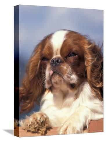 King Charles Cavalier Spaniel Adult Portrait-Adriano Bacchella-Stretched Canvas Print