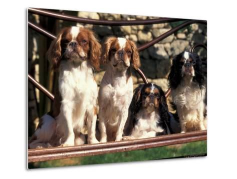 Four Young King Charles Cavalier Spaniels-Adriano Bacchella-Metal Print