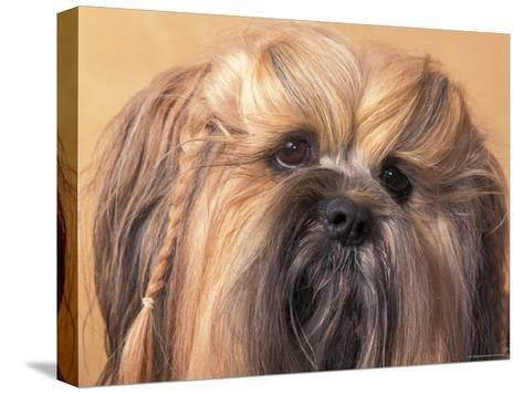 Lhasa Apso Face Portrait with Hair Plaited-Adriano Bacchella-Stretched Canvas Print