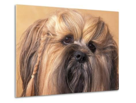 Lhasa Apso Face Portrait with Hair Plaited-Adriano Bacchella-Metal Print