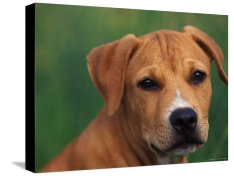 Pit Bull Terrier Puppy Portrait-Adriano Bacchella-Stretched Canvas Print