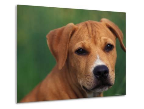 Pit Bull Terrier Puppy Portrait-Adriano Bacchella-Metal Print