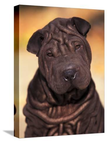 Black Shar Pei Puppy Portrait Showing Wrinkles Face and Chest-Adriano Bacchella-Stretched Canvas Print