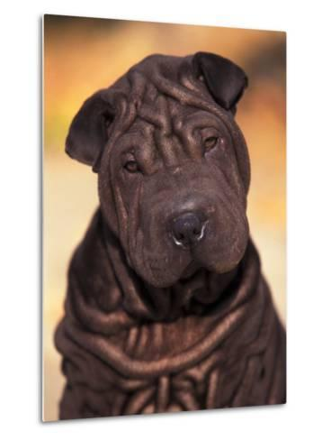 Black Shar Pei Puppy Portrait Showing Wrinkles Face and Chest-Adriano Bacchella-Metal Print