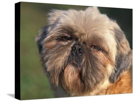 Shih Tzu Puppy Portrait-Adriano Bacchella-Stretched Canvas Print