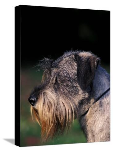 Miniature Schnauzer Profile-Adriano Bacchella-Stretched Canvas Print