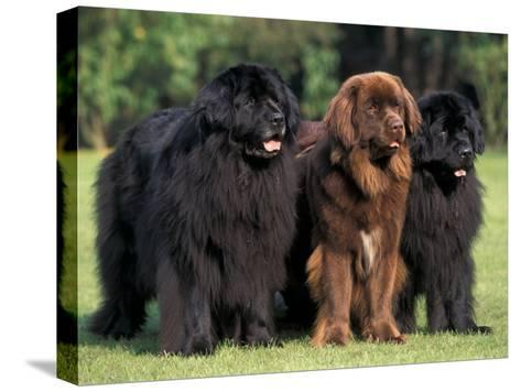 Domestic Dogs, Three Newfoundland Dogs Standing Together-Adriano Bacchella-Stretched Canvas Print