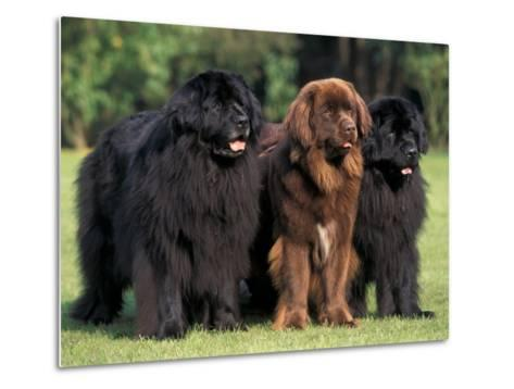 Domestic Dogs, Three Newfoundland Dogs Standing Together-Adriano Bacchella-Metal Print