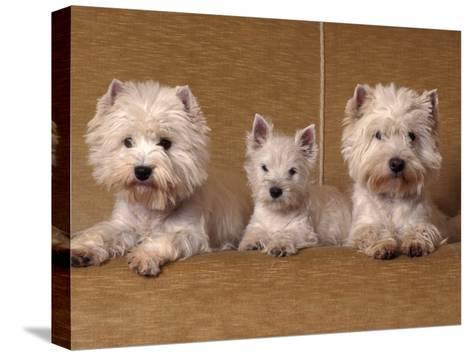 Domestic Dogs, Two West Highland Terriers / Westies with a Puppy-Adriano Bacchella-Stretched Canvas Print