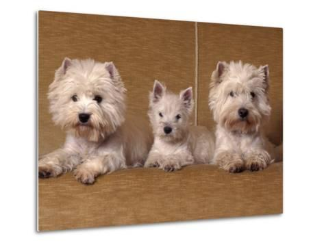 Domestic Dogs, Two West Highland Terriers / Westies with a Puppy-Adriano Bacchella-Metal Print