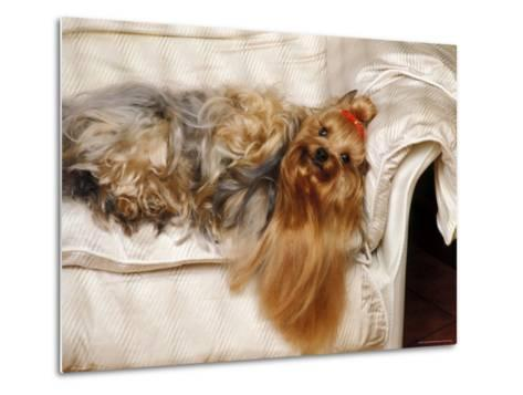 Yorkshire Terrier Lying on Couch-Adriano Bacchella-Metal Print
