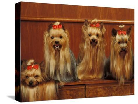 Domestic Dogs, Four Yorkshire Terriers Sitting / Lying Down-Adriano Bacchella-Stretched Canvas Print
