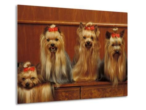 Domestic Dogs, Four Yorkshire Terriers Sitting / Lying Down-Adriano Bacchella-Metal Print