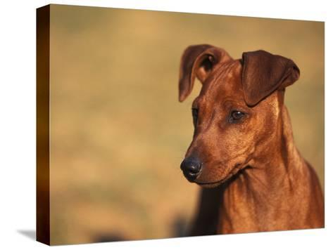Miniature Pinscher Portrait-Adriano Bacchella-Stretched Canvas Print