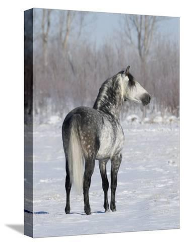 Rear View of Grey Andalusian Stallion Standing in Snow, Longmont, Colorado, USA-Carol Walker-Stretched Canvas Print