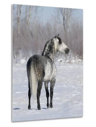 Rear View of Grey Andalusian Stallion Standing in Snow, Longmont, Colorado, USA-Carol Walker-Metal Print