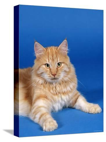 Ginger Norwegian Forest Cat-Petra Wegner-Stretched Canvas Print