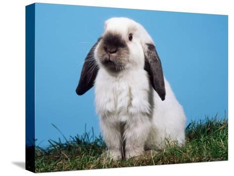 Lop-Eared Dwarf Rabbit-Petra Wegner-Stretched Canvas Print