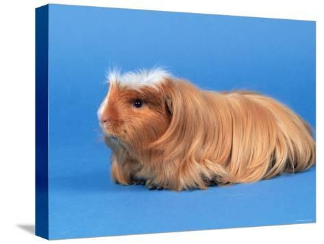 Satin Gold American Crested Coronet Guinea Pig-Petra Wegner-Stretched Canvas Print