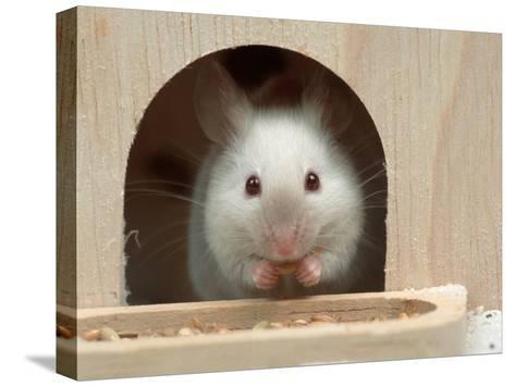 White Mouse in Hutch-Petra Wegner-Stretched Canvas Print