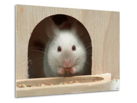 White Mouse in Hutch-Petra Wegner-Metal Print