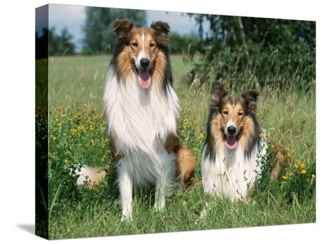 Two Collie Dogs-Petra Wegner-Stretched Canvas Print