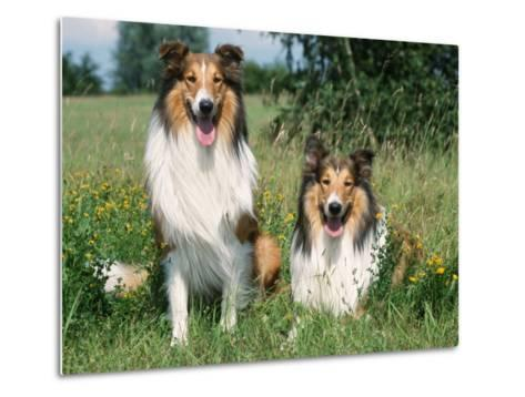 Two Collie Dogs-Petra Wegner-Metal Print
