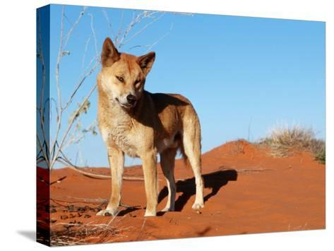 Dingo on Sand Dunes, Northern Territory, Australia-Bartussek-Stretched Canvas Print