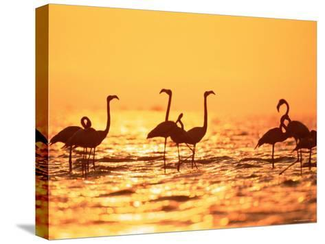 American Flamingos on Lake at Sunset, Yucatan, Mexico-Lucasseck-Stretched Canvas Print
