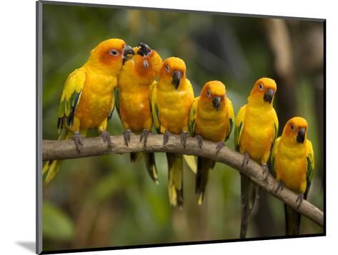 Closeup of Six Captive Sun Parakeets-Tim Laman-Mounted Photographic Print