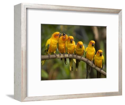 Closeup of Six Captive Sun Parakeets-Tim Laman-Framed Art Print