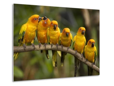 Closeup of Six Captive Sun Parakeets-Tim Laman-Metal Print
