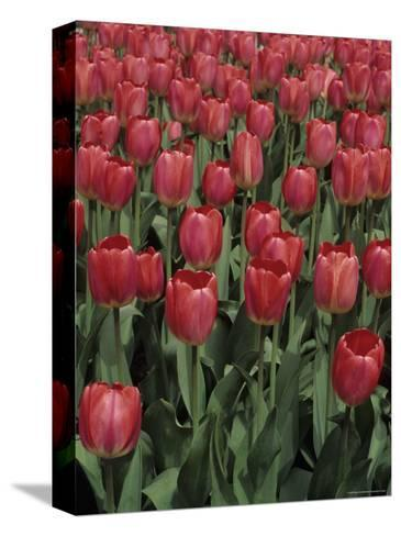Close View of Many Tulips-Stacy Gold-Stretched Canvas Print