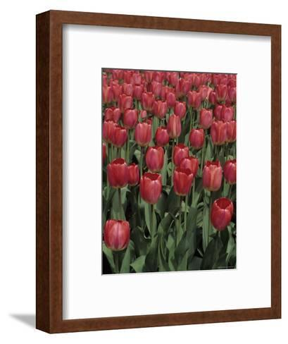Close View of Many Tulips-Stacy Gold-Framed Art Print