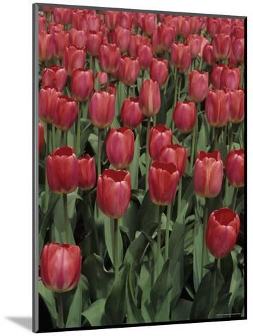Close View of Many Tulips-Stacy Gold-Mounted Photographic Print