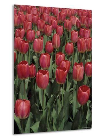 Close View of Many Tulips-Stacy Gold-Metal Print