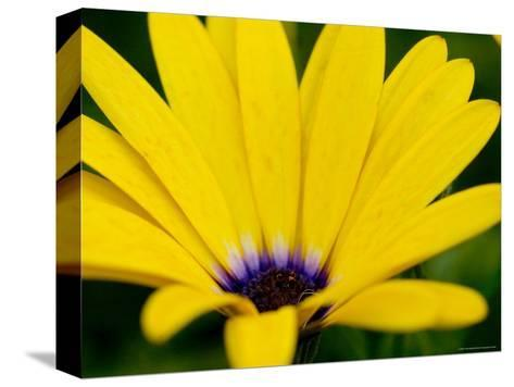 Close View of Osteospermum Hybrid, Groton, Connecticut-Todd Gipstein-Stretched Canvas Print