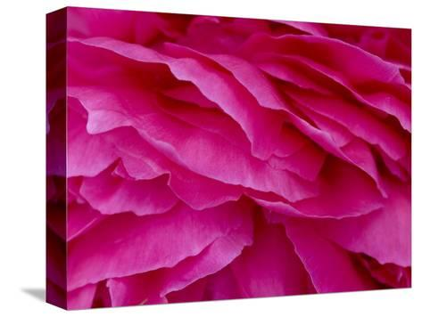 Close View of Petals of a Peony Flower, Groton, Connecticut-Todd Gipstein-Stretched Canvas Print