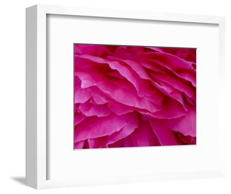 Close View of Petals of a Peony Flower, Groton, Connecticut-Todd Gipstein-Framed Art Print
